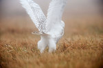 Power of the snowy owl -motion