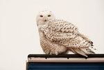 Snowy owl in urban setting