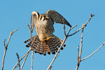 American kestrel ready for flight