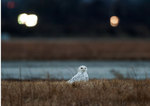 Snowy owl in grassy area near defunct runway