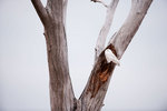 Snowy owl perched in dead cottonwood tree