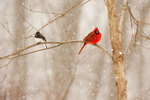 Northern cardinal and junco in snowstorm
