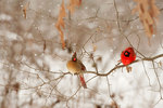 Male and female cardinal in snowstorm