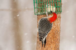 Male red-bellied woodpecker at suet feeder in snowstorm