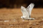 Snowy owl flight over grassland habitat