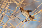 Song sparrow  in February