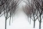 Row of trees in winter fog