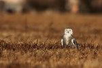 Snowy owl in grassland habitat mantling prey
