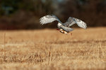 Snowy owl flight with rabbit prey