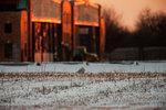 Snowy owl at Floyd Bennett Field Brooklyn NY