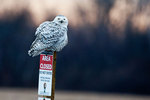 Snowy owl at dusk