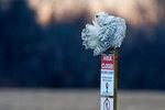 Preening snowy owl at dusk