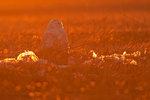 Back-lit snowy owl among grassland debris
