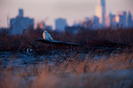 Snowy owl and lower Manhattan in late light