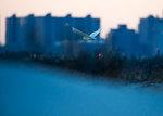 Snowy owl flight at dusk