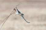 American kestrel in grassland habitat
