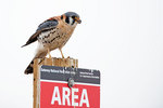 American kestrel on post