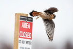 American kestrel vacating post
