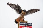 American kestrel lands on post