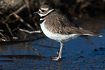 Killdeer in early spring migration