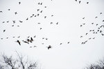 Canada Geese flight in early April spring migration