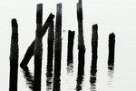 Barnacle-encrusted pilings and bufflehead