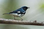 Singing black-throated blue warbler