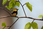 Black-throated green warbler in beech tree sapling