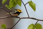 Black-throated green warbler in spring migration
