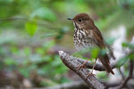 Hermit thrush in spring woods