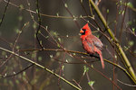 Northern cardinal in newly greened woods