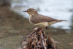 Northern waterthrush in wetland habitat