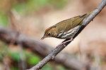 Ovenbird in deciduous woods