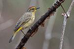 Palm warbler portrait during spring migration