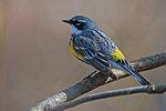 Yellow-rumped warbler in spring plumage