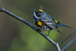 Yellow-rumped warbler in prime breeding plumage