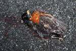 Dead robin on pavement
