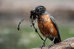 American robin with nest material