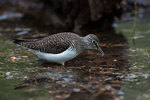 Solitary sandpiper in spring with aquatic prey