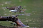 Solitary sandpiper on vernal pond
