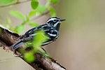 Black and White warbler in spring migration