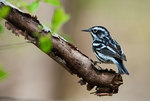 Black and white warbler in spring migration