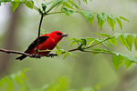 Scarlet tanager with insect in spring deciduous woods