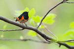 American redstart in spring deciduous woods