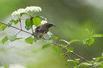Female black-throated blue warbler in spring woods