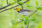 Juvenile male black-throated green warbler in spring woods