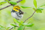 Juvenile male black-throated green warbler,