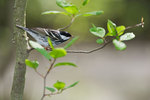 Blackpoll warbler in spring-greened woods