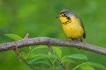 Canada warbler in spring