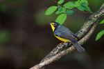 Canada warbler in spring woods